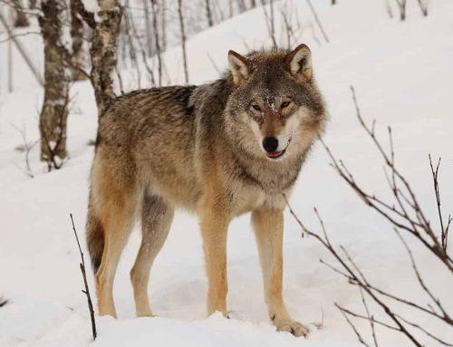 Anjing Berasal dari Serigala – Asal Usul Anjing dan Evolusinya