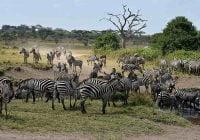cara hewan bermigrasi