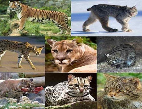 Kucing Berasal dari Harimau dan Singa – Asal Usul Kucing dan Evolusinya