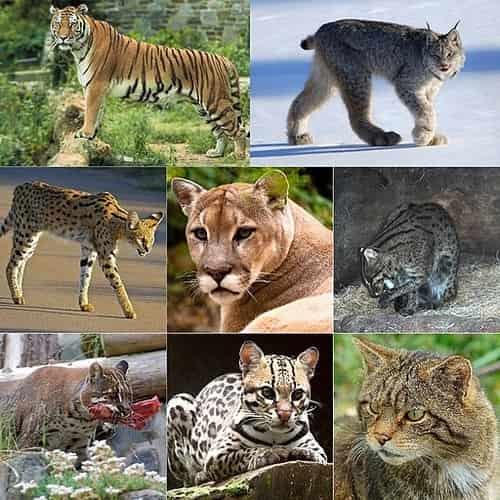 Kucing berasal dari harimau