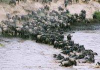 Contoh migrasi hewan