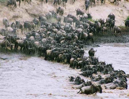 Migrasi Hewan: Mengapa hewan bermigrasi? – Contoh Hewan yang Bermigrasi