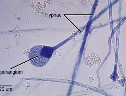 Metode Reproduksi Jamur – Cara Perkembangbiakan Seacara Aseksual, Seksual dan Siklus Hidup Fungi
