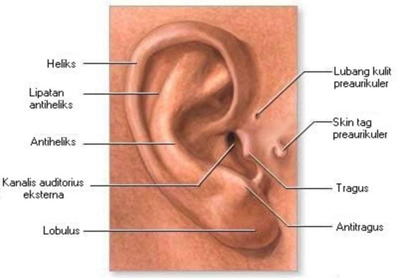 Anatomi telinga luar (bagian telinga) - arti tahi lalat di telinga