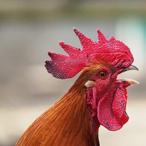 Arti mitos ayam berkokok