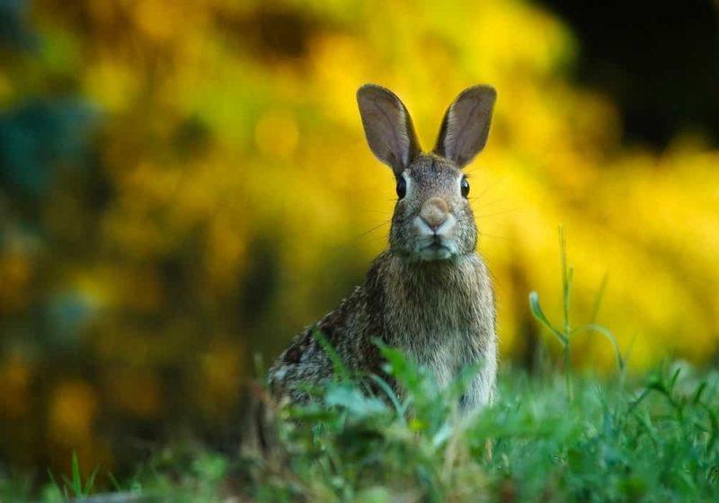 Arti mimpi kelinci