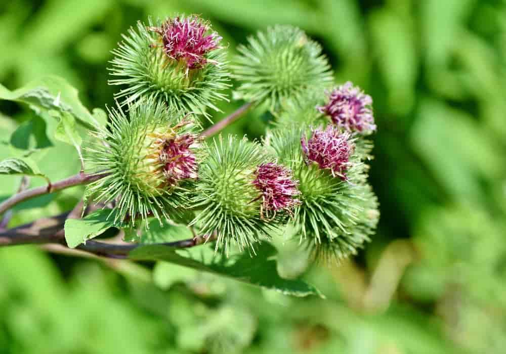 Burdock obat herbal kanker payudara