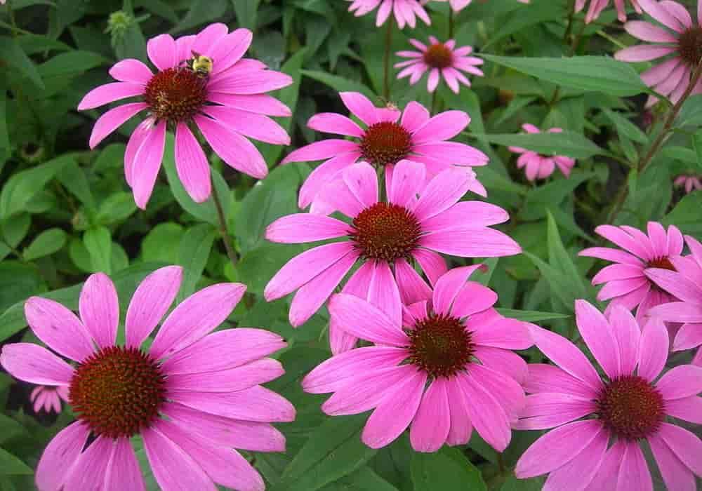 Echinacea obat herbal kaker payudara
