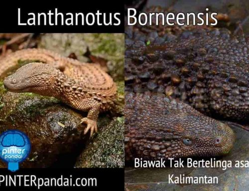Biawak Kalimantan Lanthanotus Borneensis – Biawak Tak Bertelinga asal Kalimantan (earless monitor lizard)
