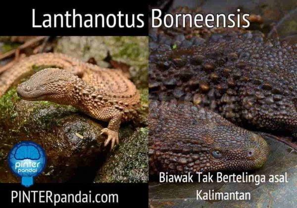 Biawak kalimantan lanthanotus borneensis