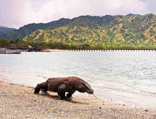 Biawak, Komodo – Habitat, Makanan, Reproduksi, Bisa (racun)