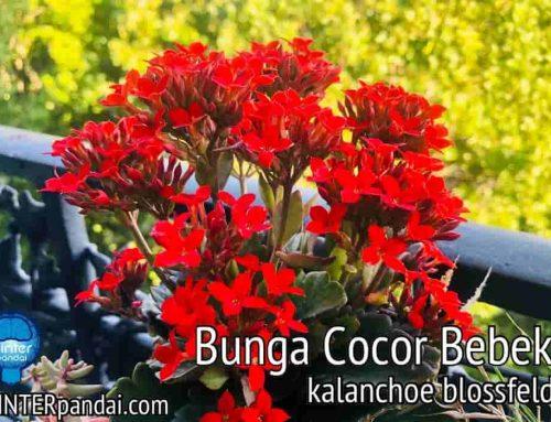 Bunga Cocor Bebek – Tanaman Hias Kalanchoe Blossfeld – Manfaat Kesehatan dan Kandungan Zat