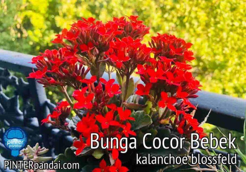 Bunga cocor bebek kalanchoe blossfeld
