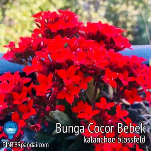 Kalanchoe blossfeld bunga cocor bebek