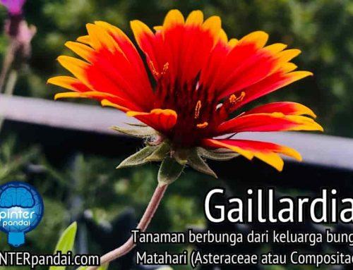 Tanaman Bunga Gaillardia (Blanket Flower, Roda Api, Selimut India, Sundance)