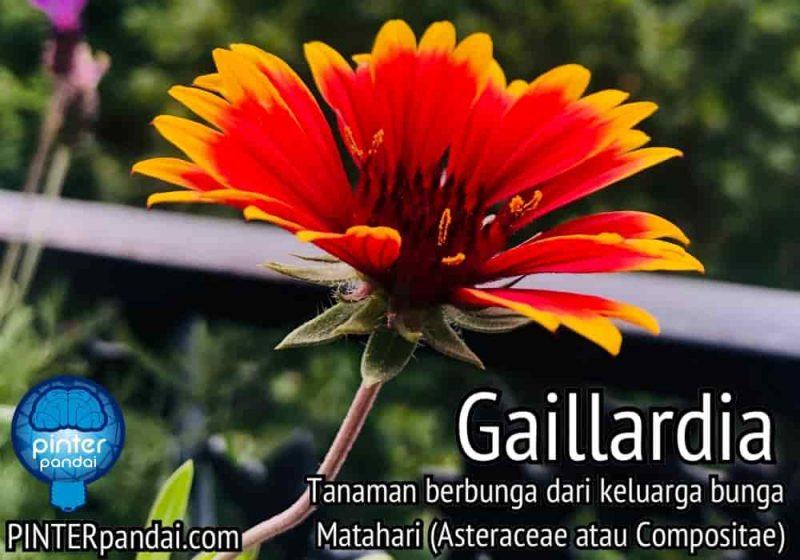 Tanaman bunga gaillardia