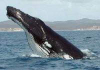 Jenis humpback whale paus bungkuk