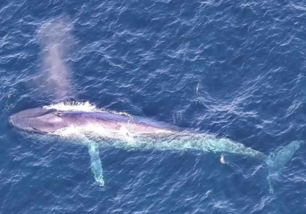 Gambar jenis paus biru (blue whale)