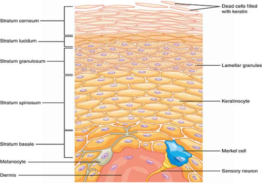 Lapisan kulit epidermis