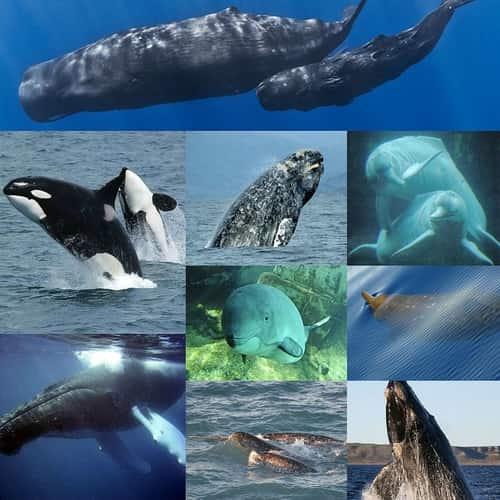 Paus (Whale) Mamalia - Berbagai Jenis Paus dan Penjelasannya - Dari Paus Biru Raksasa hingga Lumba-Lumba Hidung Botol