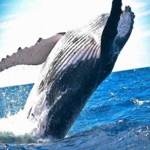 Fakta Paus (Whale) Mamalia Yang Menakjubkan