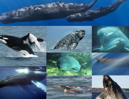 Paus (Whale) Mamalia – Berbagai Jenis Paus dan Namanya | Penjelasan dari Paus Biru Raksasa hingga Lumba-Lumba Hidung Botol