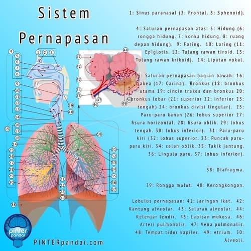 Sistem Pernapasan: Fungsi, Fakta, Organ & Anatomi Manusia