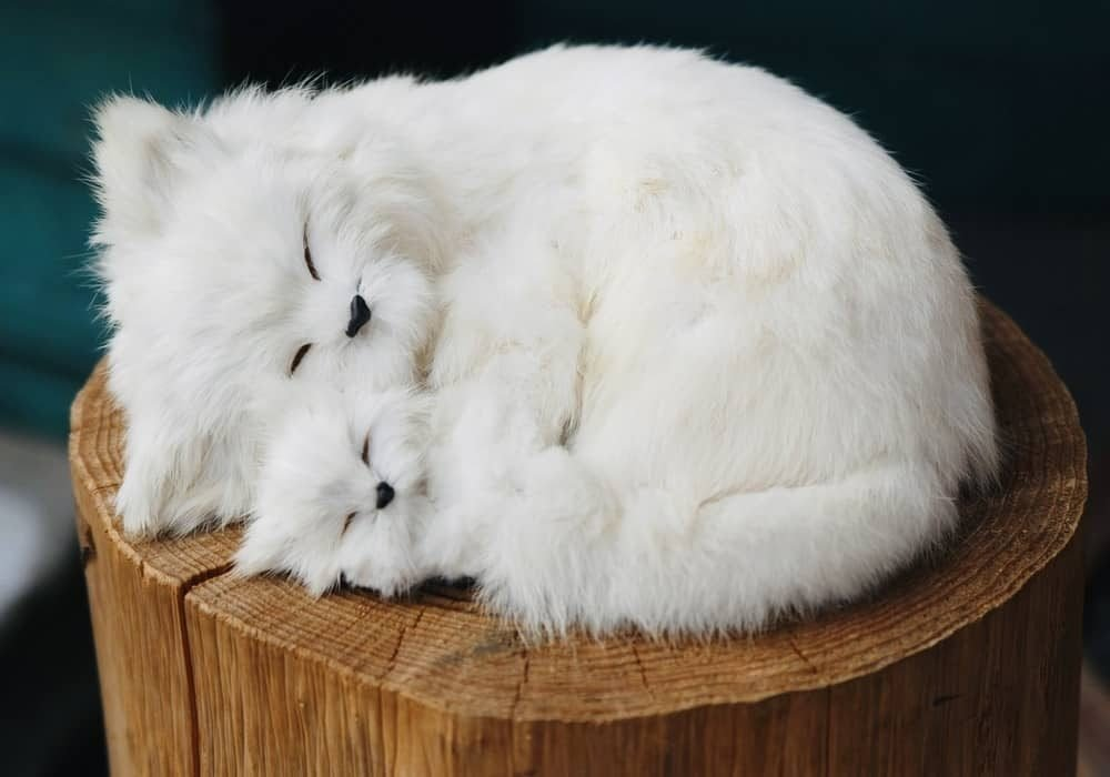 jenis kucing ras chinchilla