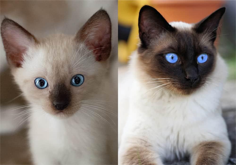 jenis kucing ras siam