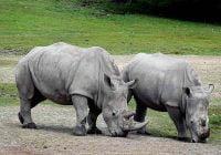 Badak rhinoceros