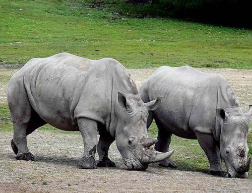 Badak (Rhinoceros ) | Jenis Cula 1 dan 2