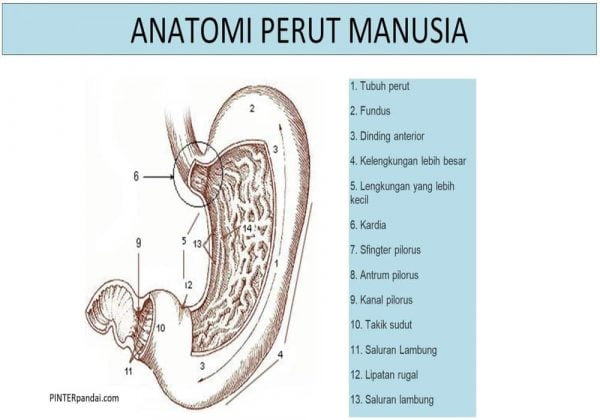 Anatomi perut manusia