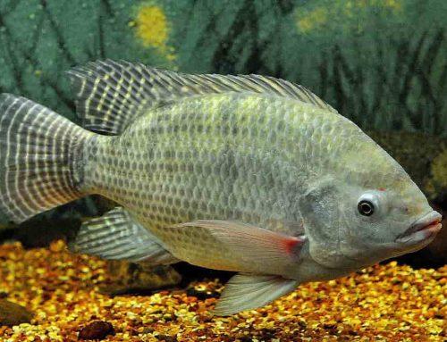 Ikan Nila | Fakta, Gizi, Resep, Budidaya dan Sejarah
