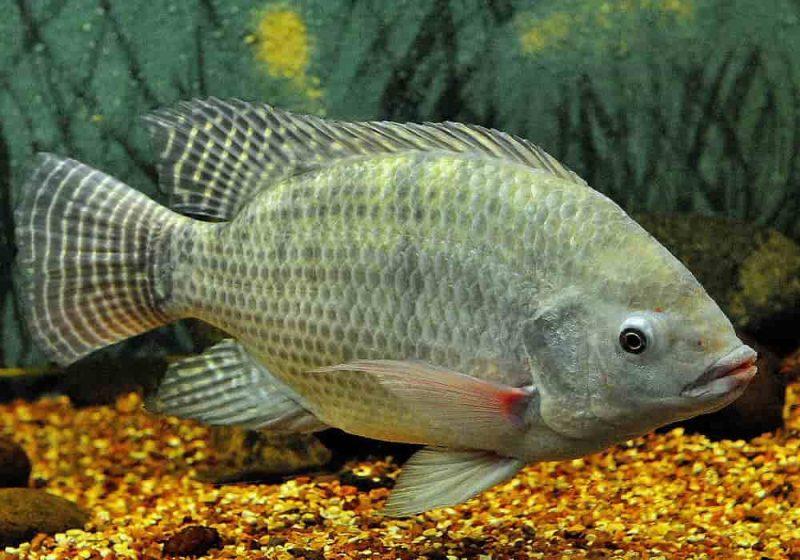 Ikan Nila | Fakta, Gizi dan Resep