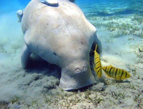 Dugong (Duyung) | Mamalia Laut Herbivora Dengan Tubuh Menakjubkan