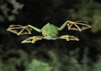 Katak terbang Wallace (Rhacophorus nigropalmatus)