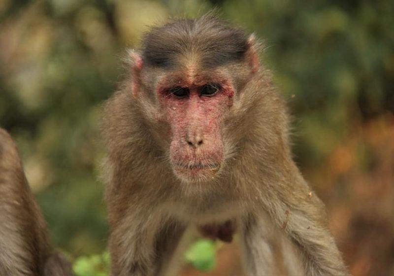 Virus B (herpes B, virus monyet B, virus herpes simiae, dan virus herpes B)