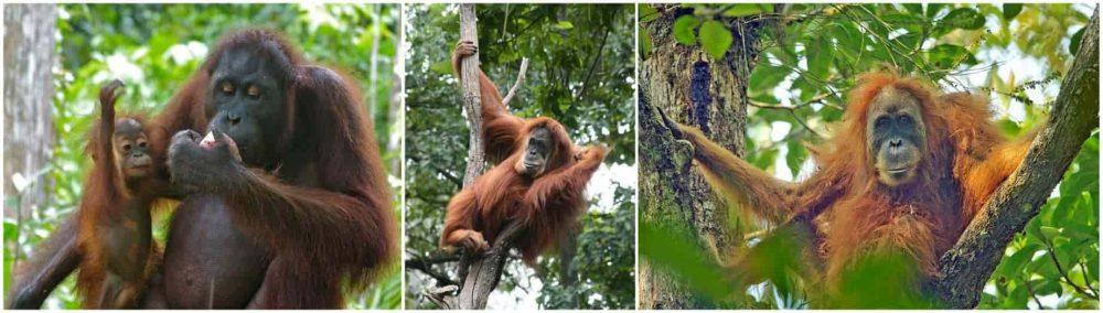 Wajah betina (dari kiri) Orangutan Kalimantan, Sumatera dan Tapanuli