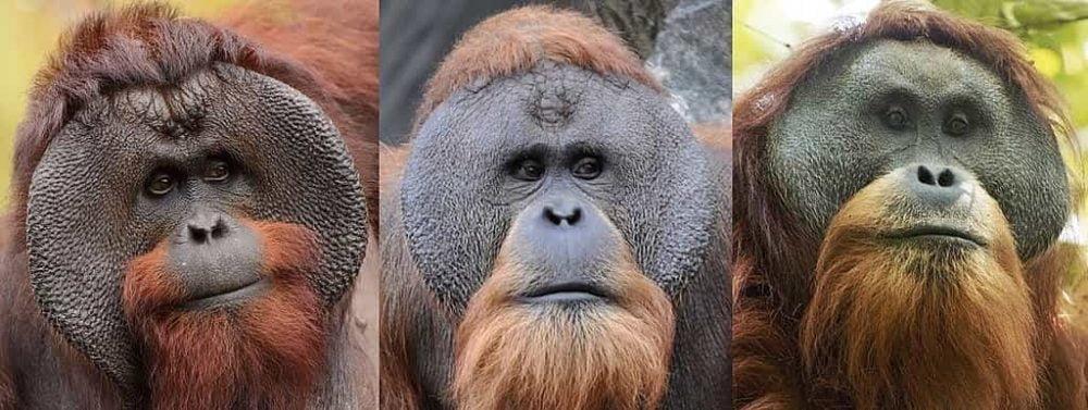 Wajah orang hutan jantan (dari kiri) Kalimantan, Sumatra dan Tapanuli