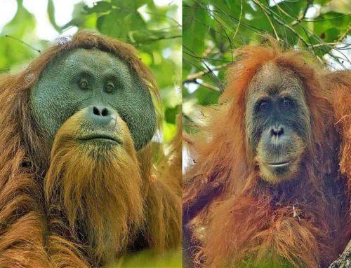 Orang Hutan (Orang utan)  | Mamalia arboreal terbesar (Sumatera, Kalimantan dan Tapanuli)