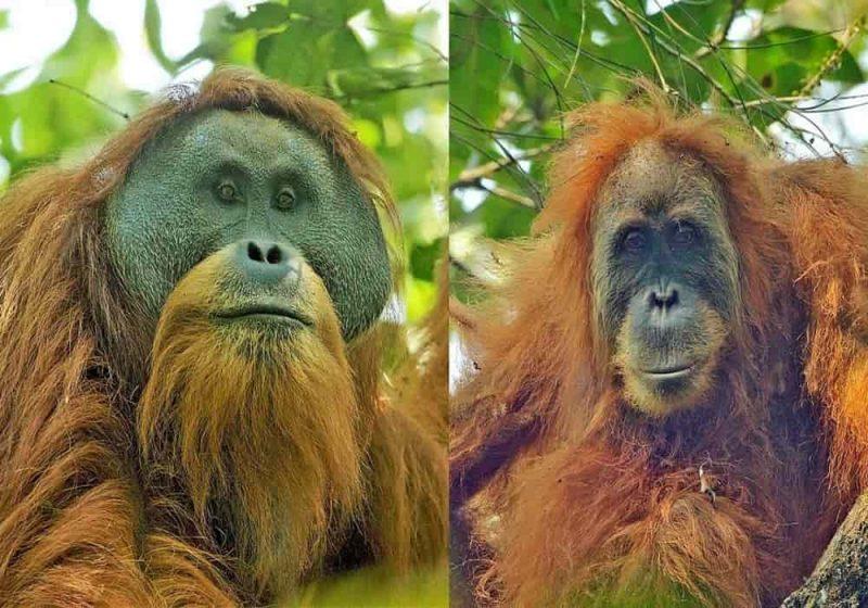 Orangutan Tapanuli jantan (kiri) dan betina (kanan)