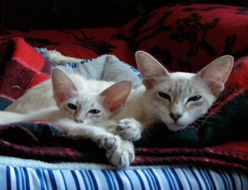 Kucing Jawa Rasnya Bukan Berasal dari Pulau Jawa Indonesia