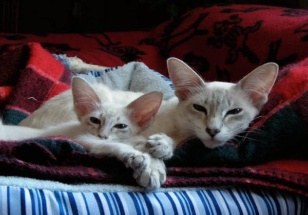 Kucing Jawa Bukan Berasal dari Jawa Indonesia