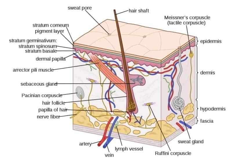 Struktur Kulit dan Perannya - Terbuat dari apa kulit kita?